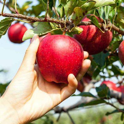J&K: SherKashmir University introduces hail net system to protect high-density apples
