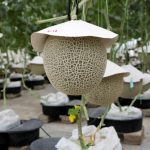 Malaysian company aims high with cultivation of Japanese muskmelons